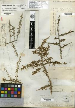 Lycium andersonii var. wrightii image