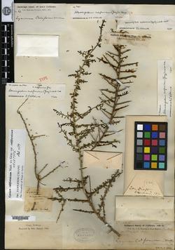 Lycium californicum image