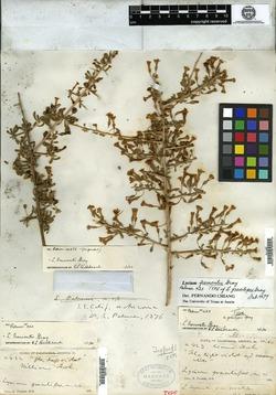 Image of Lycium gracilipes