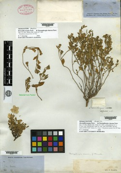 Image of Browallia texana