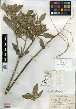 Image of Croton coryi