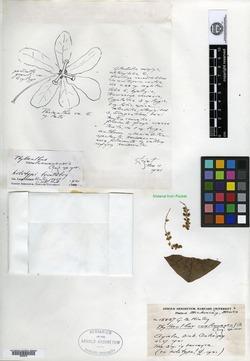 Image of Phyllanthus coalcomanensis
