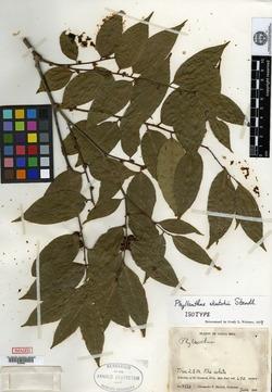 Phyllanthus skutchii image