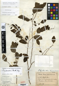 Image of Phyllanthus anderssonii