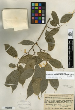 Image of Pleradenophora tuerckheimiana
