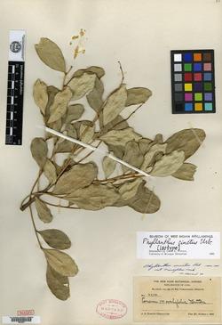Image of Phyllanthus cinctus
