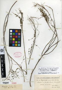 Image of Phyllanthus fuertesii