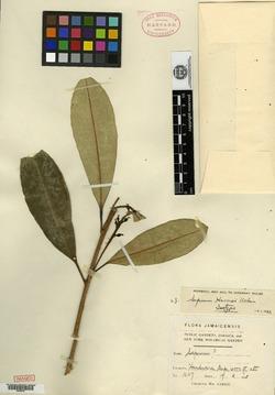 Image of Sapium cuneatum