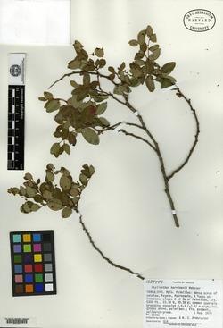 Image of Phyllanthus harrimanii