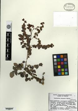 Image of Phyllanthus mcvaughii