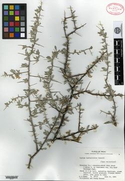 Image of Lycium berberioides
