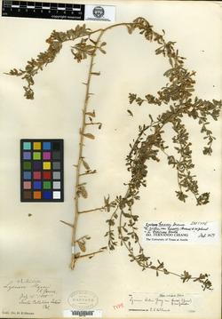 Image of Lycium hassei