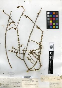 Image of Citharexylum brachyanthum