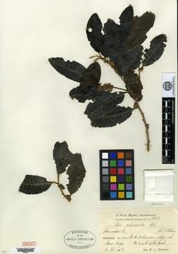Image of Pera glomerata