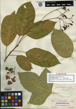 Image of Jatropha glaucovirens