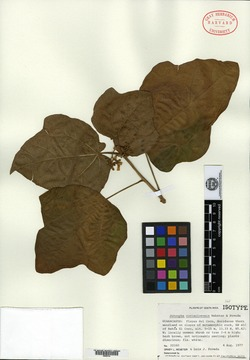Image of Jatropha costaricensis