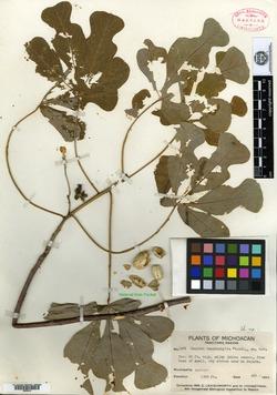 Image of Manihot tomatophylla