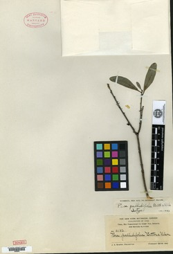 Image of Pera pallidifolia