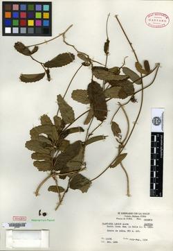 Image of Platygyna leonis