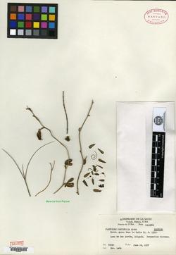 Image of Platygyna parvifolia
