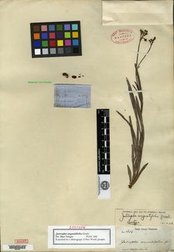 Image of Jatropha angustifolia