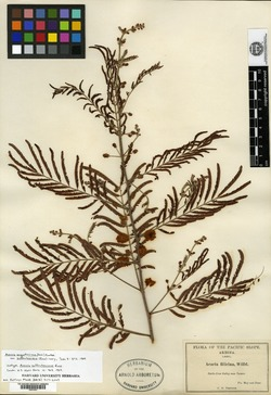 Image of Acacia suffrutescens