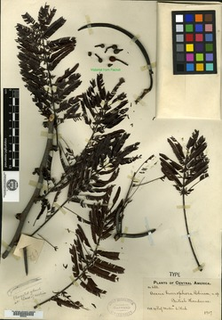 Image of Acacia bucerophora