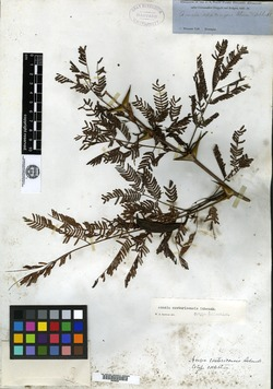 Image of Acacia costaricensis