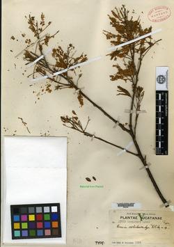Image of Acacia dolichostachya