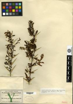 Image of Vachellia globulifera