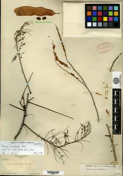 Image of Acacia macilenta