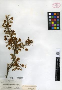 Image of Acacia palmeri