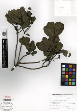 Image of Pera longipes