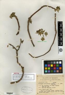 Jatropha malacophylla image