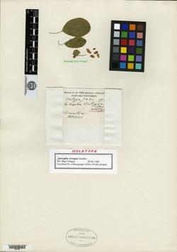 Jatropha ortegae image