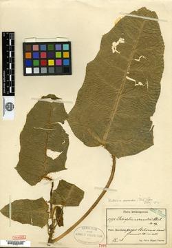 Image of Cnidoscolus acrandrus