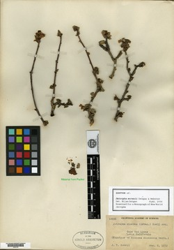 Image of Jatropha moranii