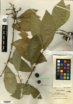 Image of Jatropha decipiens