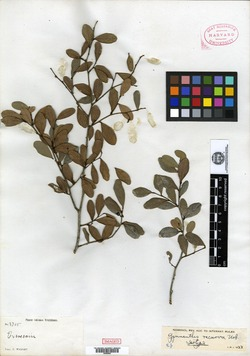 Image of Gymnanthes recurva