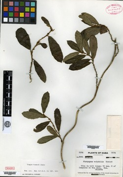 Image of Platygyna volubilis