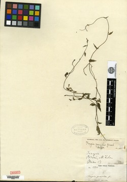 Image of Tragia gracilis