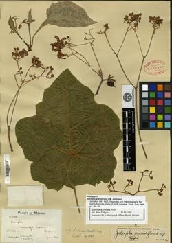 Jatropha ciliata image