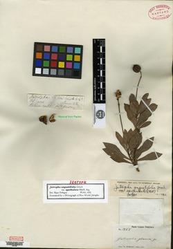 Jatropha angustifolia image