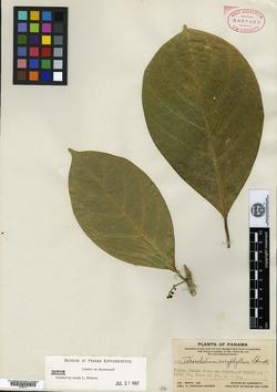 Tetrorchidium euryphyllum image