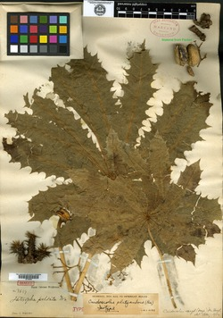 Image of Jatropha peltata