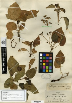 Image of Jatropha vernicosa