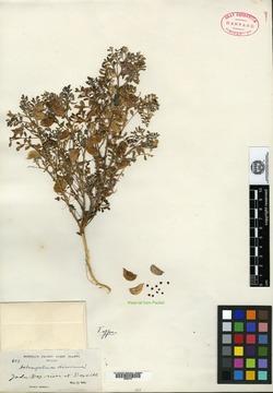 Image of Astragalus diurnus