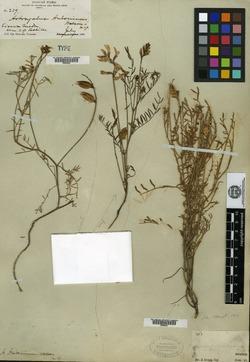 Image of Astragalus antoninus