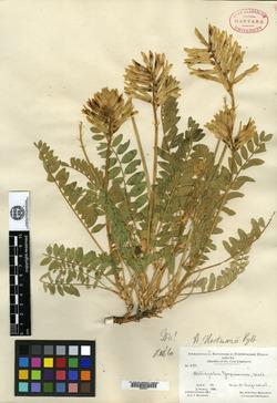 Image of Astragalus hartmanii