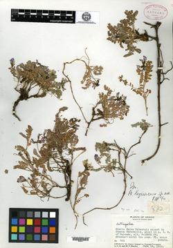 Image of Astragalus legionensis